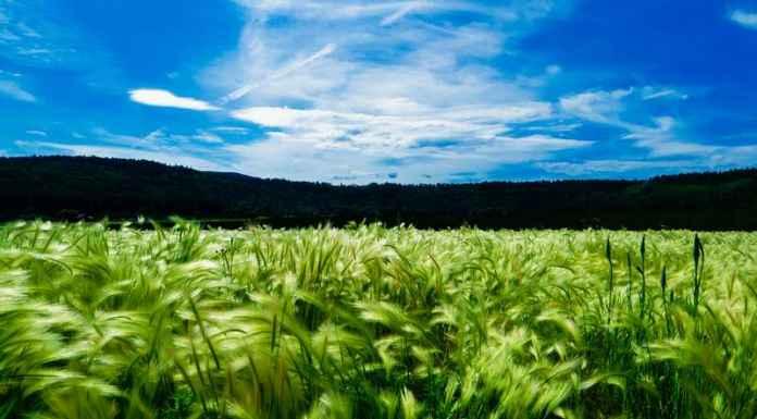 Campo coltivato ad agricoltura biologica
