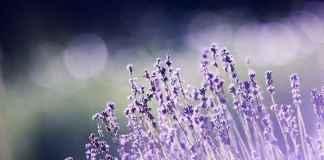 Campo di lavanda per aromaterapia