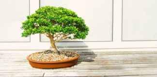 Pianta di bonsai da interno