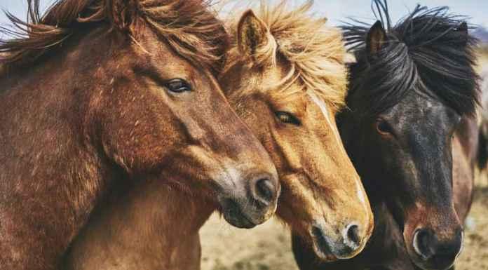 Cavalli da equitazione